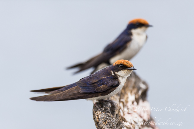 Wire-Tailed Swallows African Conservation Photography  Peter Chadwick