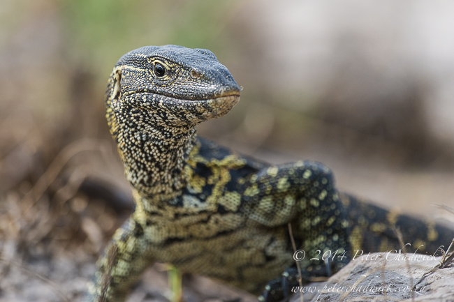 Rock Monitor Lizard African Conservation Photography  Peter Chadwick