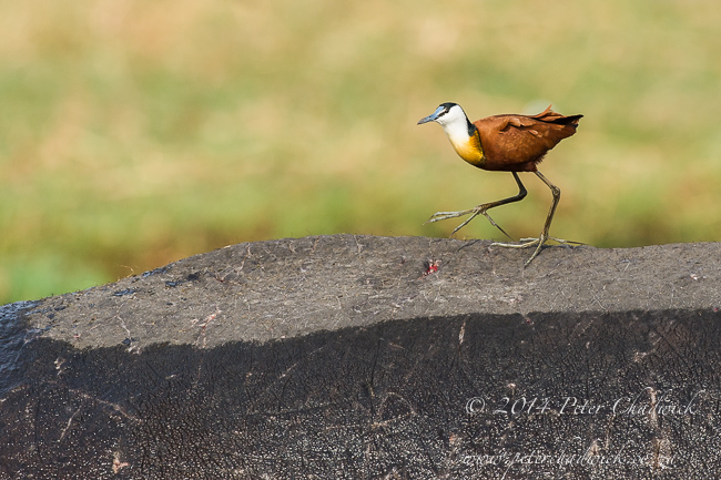 African Jacana on Hippos back African Conservation Photography  Peter Chadwick