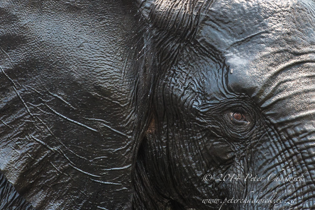African Elephant portrait African Conservation Photography  Peter Chadwick