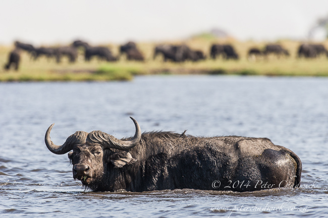 Cape Buffalo crossing the Chobe Rover African Conservation Photography  Peter Chadwick