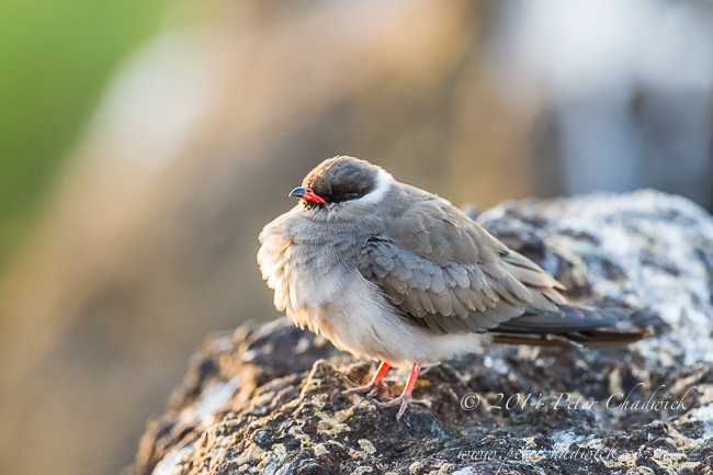 Rock Pratincole African Conservation Photography  Peter Chadwick