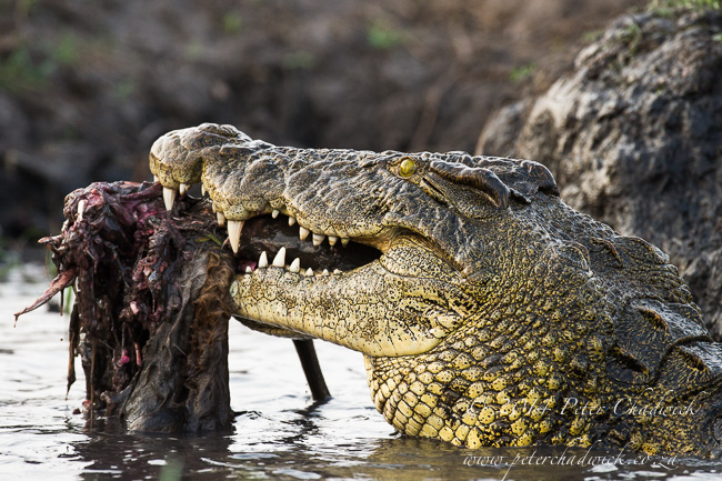 Nile Crocodile feeding African Conservation Photography  Peter Chadwick