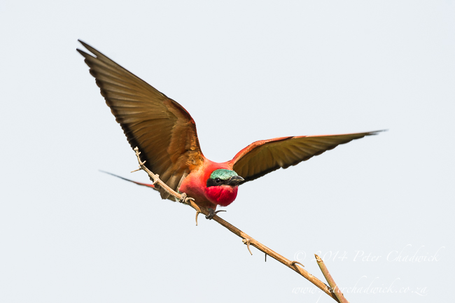 Carmine Bee-Eater take off  African Conservation Photography  Peter Chadwick