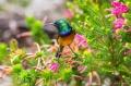Kirstenbosch and the Orange-breasted Sunbird