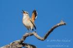 Kalahari scrub robin by wildlife and conservation photographer Peter Chadwick.jpg