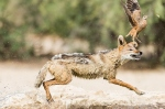 Black-Backed Jackal Hunting Sandgrouse sequence by wildlife and conservation photographer Peter Chadwick_1.jpg