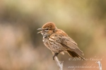 barlows lark by wildlife and conservation photographer peter chadwick.jpg