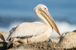 Great White Pelican_©PeterChadwick_AfricanConservationPhotographer.