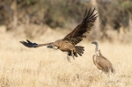 White-Backed Vulture taking off by wildlife and conservation photographer Peter Chadwick.jpg