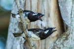 White-eared barbets by wildlife and conservation photographer Peter Chadwick.jpg
