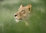 Lion Portrait - Morkel Erasmus