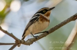 Pale Batis by wildlife and conservation photographer Peter Chadwick.jpg