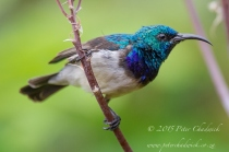 White-bellied Sunbird_©PeterChadwick_AfricanConservationPhotographer