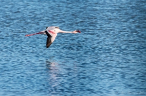 Lesser Flamingo in flight | ©ArnePurves