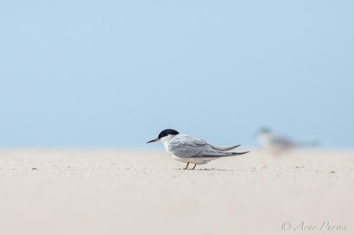 Damara Tern near De Mond | ©Arne Purves | African Conservation Photography