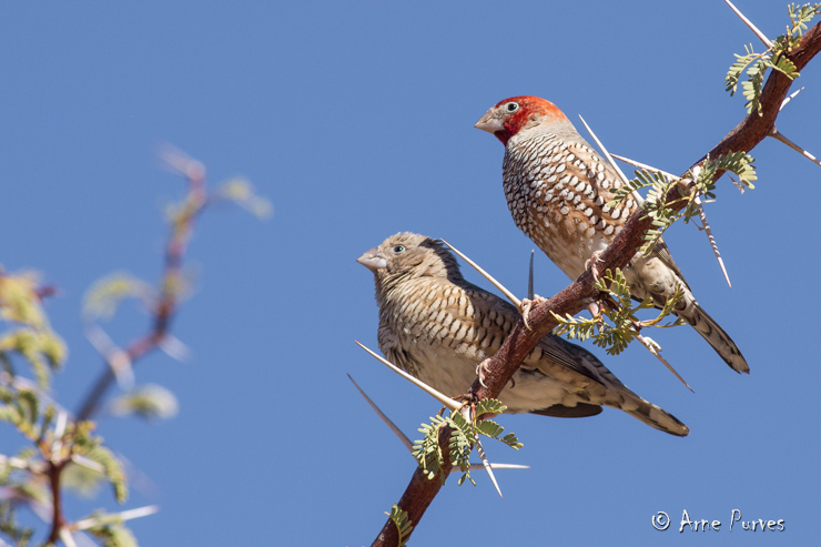 Red-headed Finches | Kgalagadi | © Arne Purves