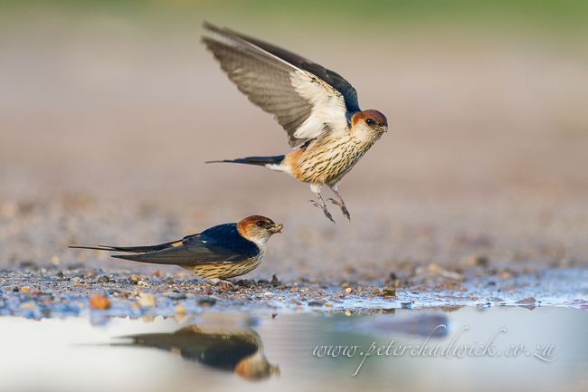 greater striped swallow pair by wildlife and conservation photographer Peter Chadwick