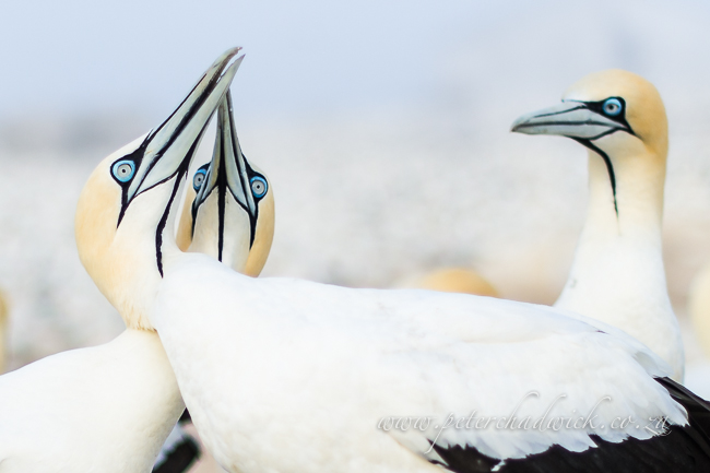 Cape Gannet pair by wildlife and conservation photographer Peter Chadwick