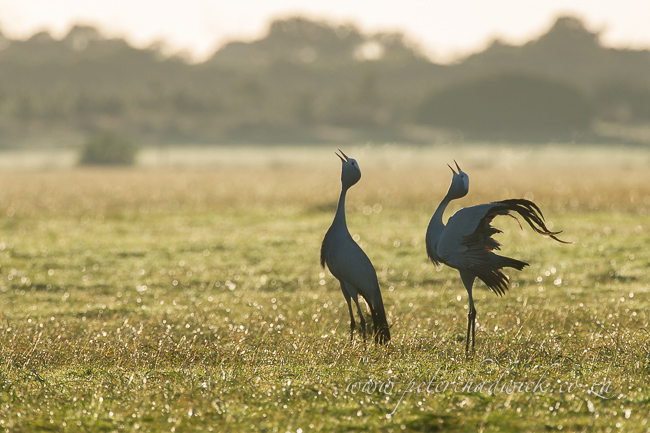 Blue cranes calling at dawn by wildlife and conservation photographer Peter Chadwick