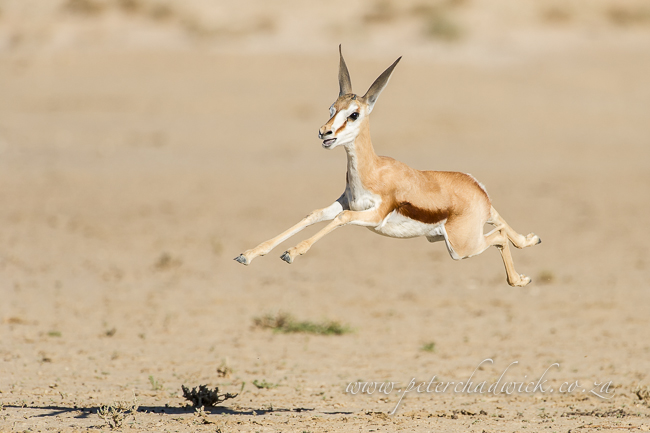 leaping springbok lamb by wildlife and conservation photographer Peter Chadwick