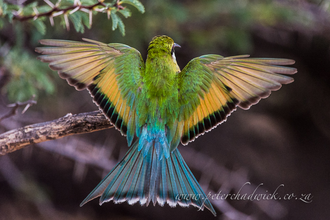swallowtail bee-eater landing by wildlife and conservation photographer Peter Chadwick
