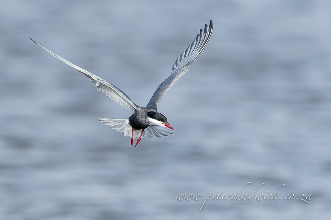 Hovering whiskered tern by wildlife and conservation photographer Peter Chadwick