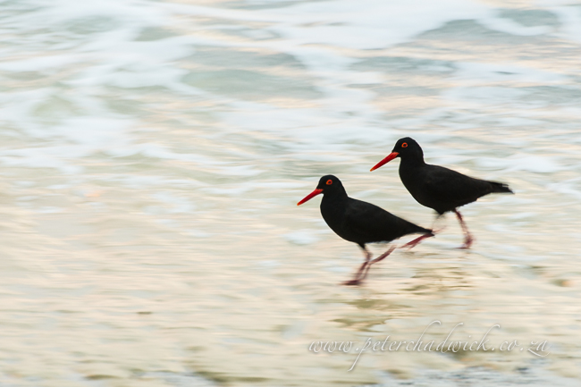 african black oystercatcher pair by wildlife and conservation photographer Peter Chadwick
