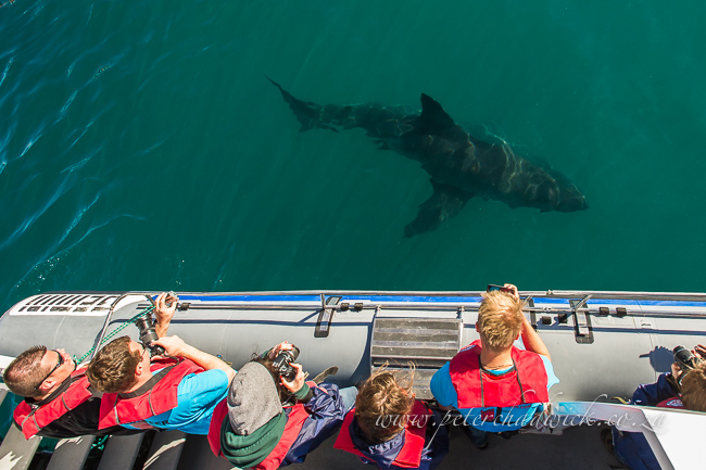 tourists watching great white shark by wildlife and conservation photographer Peter Chadwick