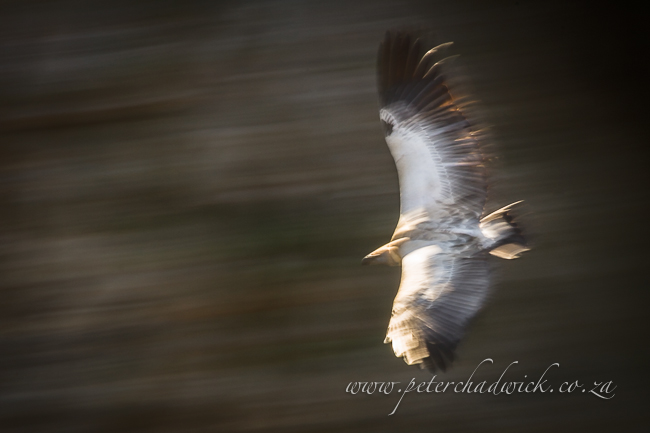 Cape vulture blur by wildlife and conservation photographer Peter Chadwick