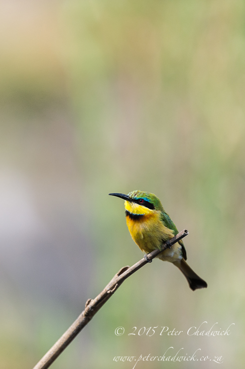 Little Bee-Eater_PeterChadwick_AfricanConservationPhotography