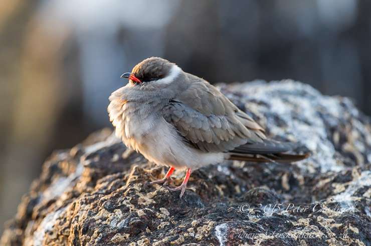 Rock Pratincole_PeterChadwick_AfricanConservationPhotography