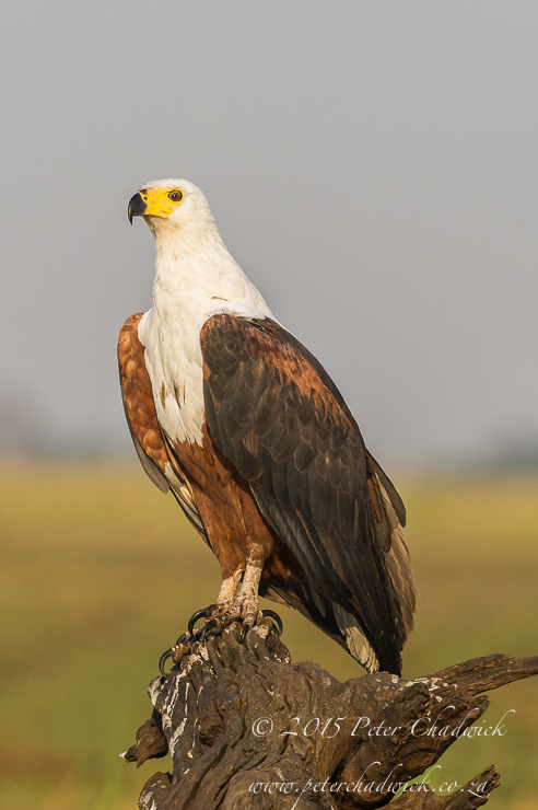 African Fish Eagle_PeterChadwick_AfricanConservationPhotography