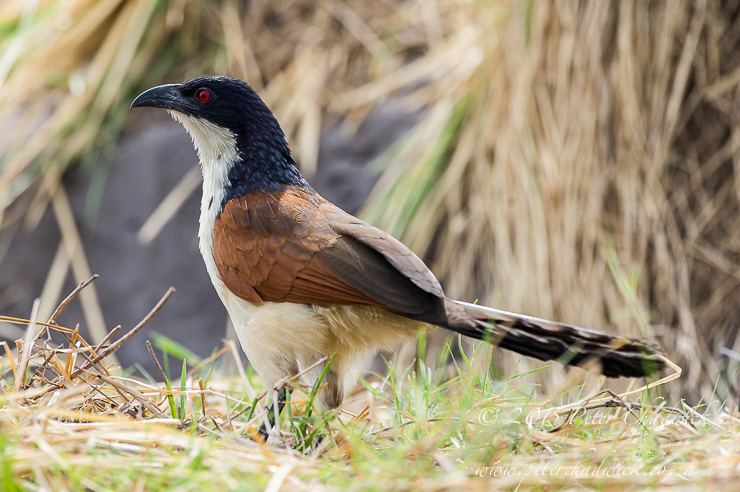 Coppery-Tailed Coucal_PeterChadwick_AfricanConservationPhotography