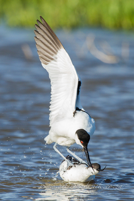 10 Pied Avocet mating by wildlife and conservation photographer Peter Chadwick