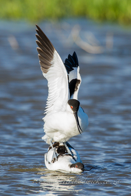 11 Pied Avocet mating by wildlife and conservation photographer Peter Chadwick