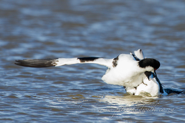 12 Pied Avocet mating by wildlife and conservation photographer Peter Chadwick