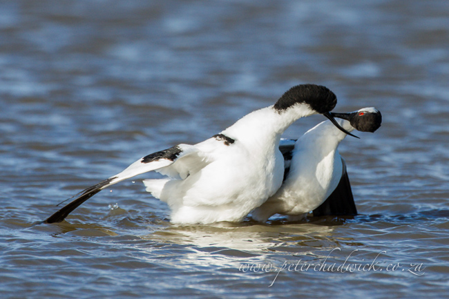 13 Pied Avocet mating by wildlife and conservation photographer Peter Chadwick