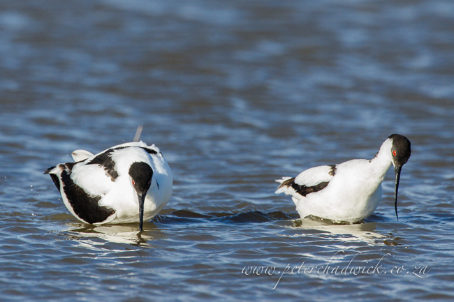 14 Pied Avocet mating by wildlife and conservation photographer Peter Chadwick