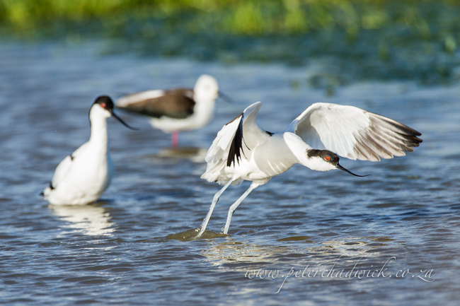 15 Pied Avocet mating by wildlife and conservation photographer Peter Chadwick