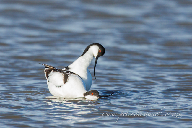 Pied Avocet mating by wildlife and conservation photographer Peter Chadwick