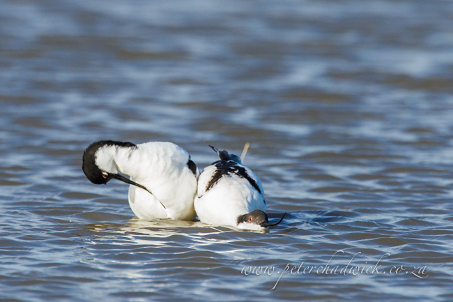 4 Pied Avocet mating by wildlife and conservation photographer Peter Chadwick