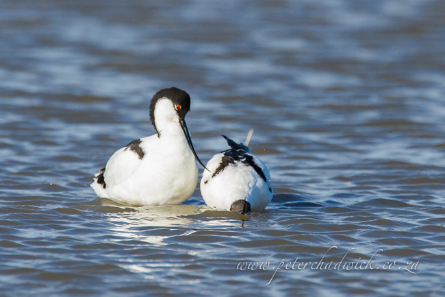 5 Pied Avocet mating by wildlife and conservation photographer Peter Chadwick