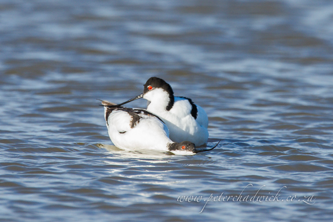 6 Pied Avocet mating by wildlife and conservation photographer Peter Chadwick 0018710