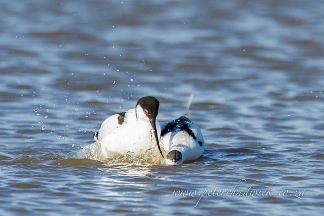 9 Pied Avocet mating by wildlife and conservation photographer Peter Chadwick