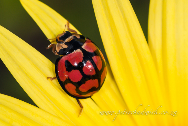 ladybird climbing out yellow daisy by wildlife and conservation photographer peter chadwick