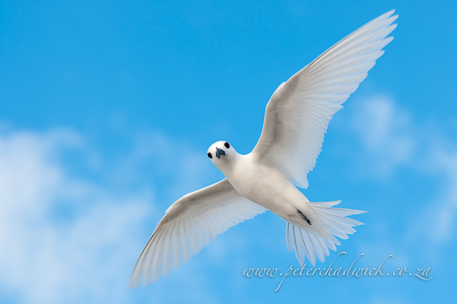 fairy tern by wildlife and conservation photographer peter chadwick