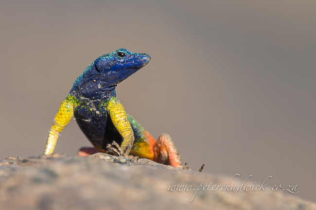 Augrabies Falt Lizard male by wildlife and conservation photographer peter chadwick