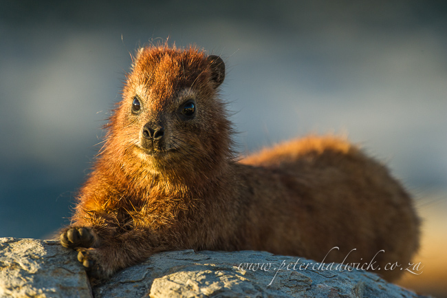 Rock Hyrax stretching by wildlife and conservation photographer peter chadwick