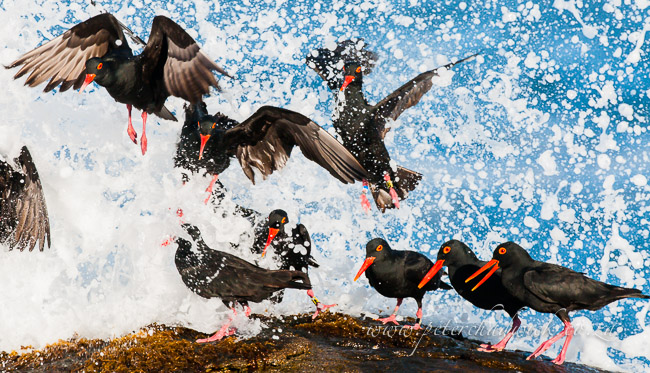 African black oystercatchers taking off by wildlife and conservation photographer Peter Chadwick